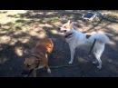 Питбуль и Лайка играют.(Pitbull and Laika play)