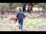 Типичный день в Австралии: набить морду кенгуру за то, что он цепляется к твоей собаке...