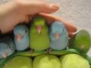 5 Week old Parrotlets