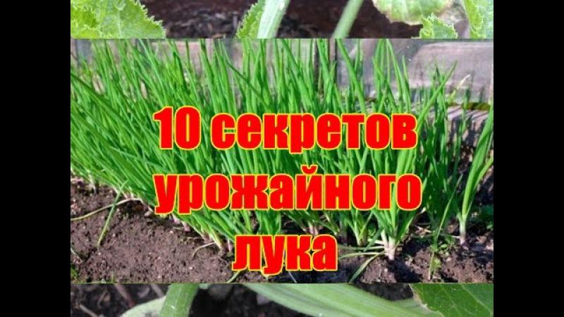 10 секретов урожайного лука Как вырастить здоровый крупный лук