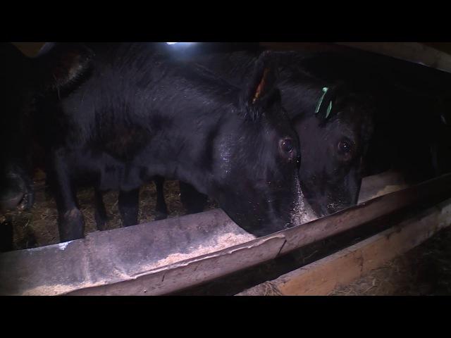 Фермер из Никольска занялся производством мраморной говядины