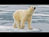 Белый медведь - Polar Bear (Энциклопедия животных)