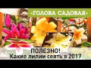 Голова садовая - ПОЛЕЗНО! Какие лилии сеять в 2017