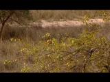 BBC Natural World 2008 - Tiger Kill (DVB Xvid)