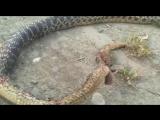 ★Группа Киномир Кавказ★ В Дагестане убили двуногую змею