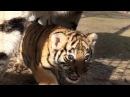 Как тигрица Скарлетт малыша принесла показать Тайган Tigress has brought to show a tiger cub