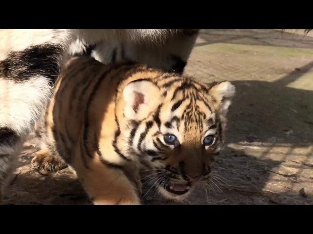 Как тигрица Скарлетт малыша принесла показать. Тайган.