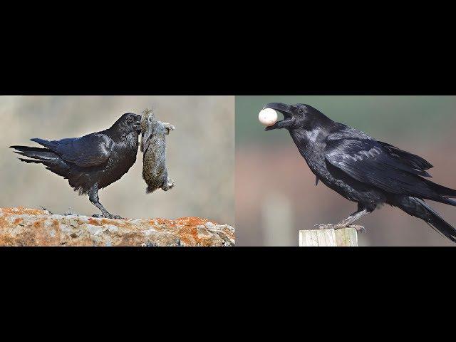 Crowbusters (Crow Hunting Why we shoot crows) - Karga Avı ve Neden Karga Avlıyoruz