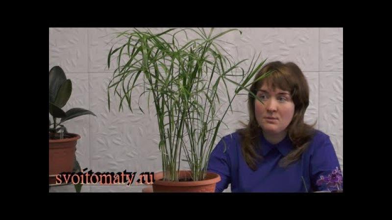 Циперус – выращивание из семян и уход в домашних условиях