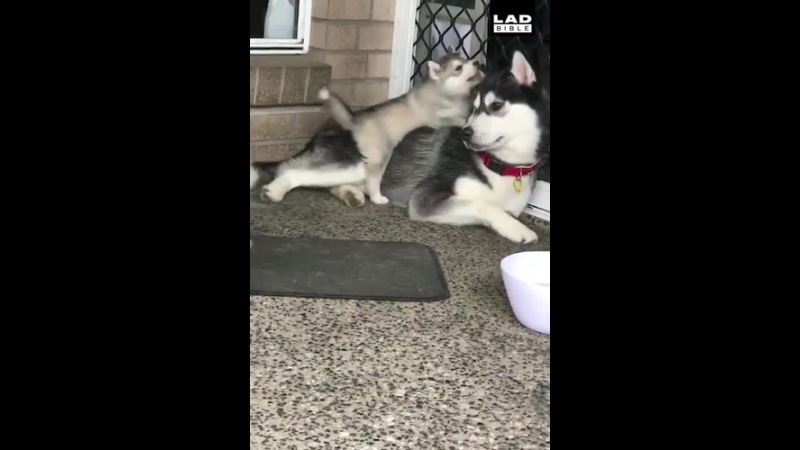 Some dogs are born clumsy... 😂🐶 Husky babies · coub, коуб