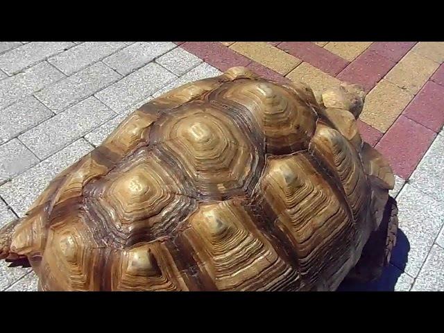 Огромные черепахи Анапа