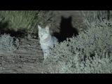 Африканский степной кот в пустыне! Thug Hamster