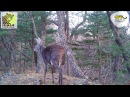 Саблезубый олень впервые попал на видео на Земле леопарда Musk deer