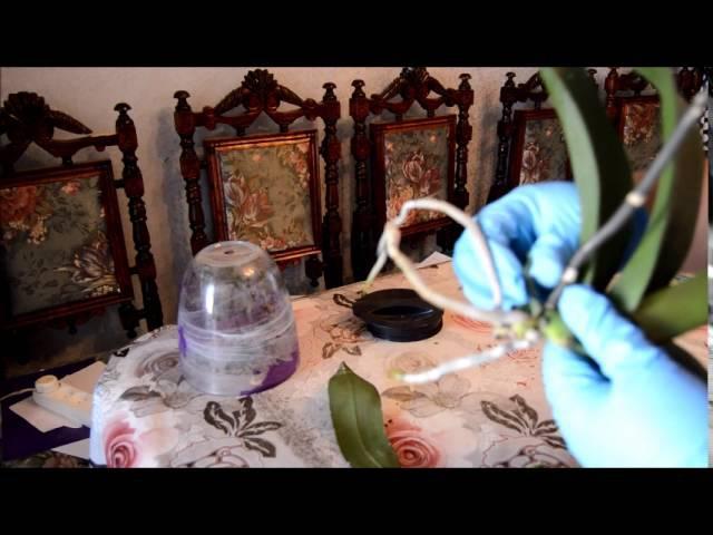 Деление куста орхидеи Фаленопсис