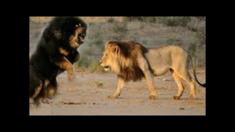 KRAL KİM ? : Tibet Mastifi mi Aslan mı? ►► En Güçlü Köpekler | Vahşi Hayvanlar | LİON vs DOG