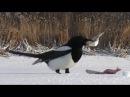 Самая умная птица после вороны - сорока. Интересные факты - Птицы России - Фильм 13