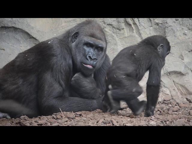 Семья горилл с двумя младенцами в Биопарке Валенсии