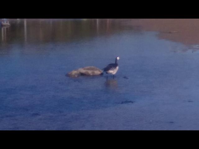 Казарка разгуливает у дач по берегу