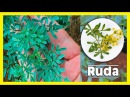 Descubre Porqué La RUDA es Considerada Una Planta Milagrosa Para La Salud