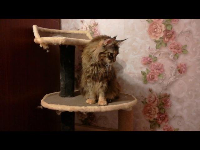 Кошка мейн-кун Денали
