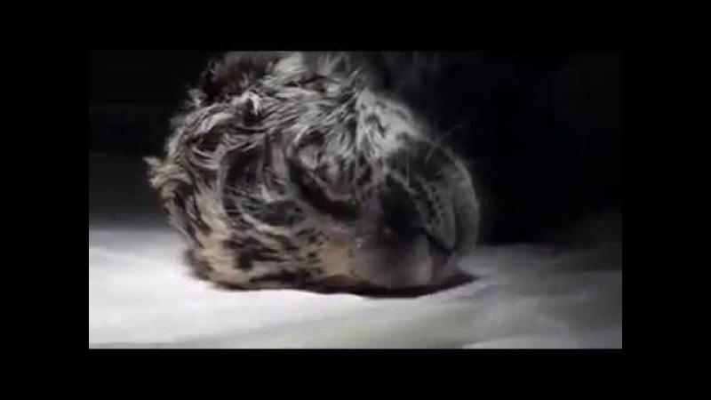 Кесарево сечение у ягуара Cesárea de un Jaguar