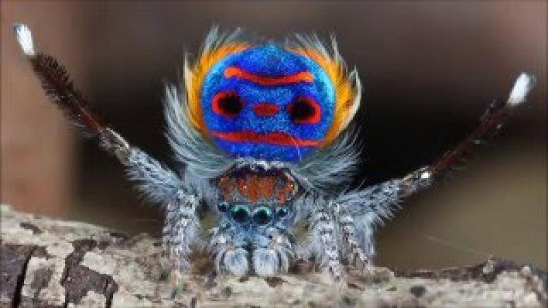 Танцующий павлин паук. Брачный танец.