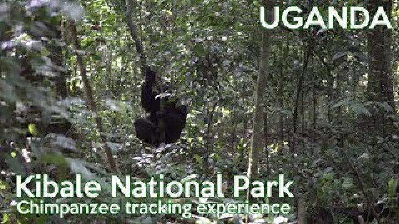 KIBALE NATIONAL PARK CHIMPANZEE TRACKING trip to UGANDA third stop