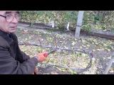 Осенняя обрезка кустов винограда с плохим вызреванием лозы.
