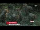 У Голландському зоопарку відвідувачам показали 6 дитинчат гепардів