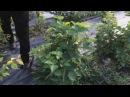 ТРАВЕЛЕР правильный способ формирования кустов ремонтантных сортов ежевики