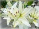 Нежность белых лилий