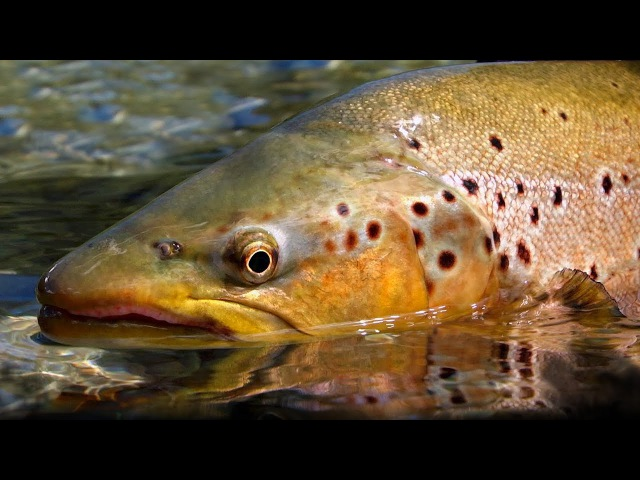 Pure New Zealand Part 2 - Trout Fishing by Todd Moen