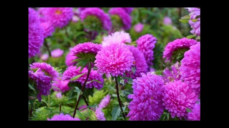 Во саду ли в огороде • Астры Взойдут Щеткой! Посев Астры Без Пикировки.