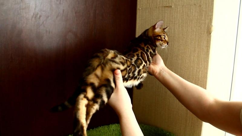 Бенгальский мальчик предлагается в разведение. возраст 4 месяца! Доставка! бенгалы котятанапродажу котята япродаюкотят бенг