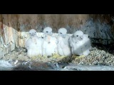 Waiting for Breakfast! Great Spirit Bluff Falcons. 21 May 2017