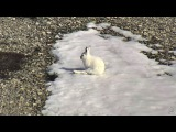 Arctic Hares and Crane on Cape North Polar Bear cam. 21 May 2017
