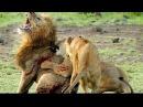 Самое ужасное и жестокое убийство льва Ужас Львы жестоко убивают короля прайда Трогательно