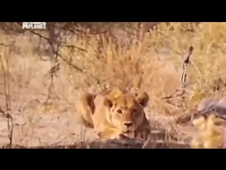 Мир животных. Дикая Африка. Львы - людоеды. Документальный фильм