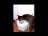 Смешные кошки приколы про кошек и котов 2017 #19 (Котенок играет бубенцами собак