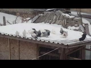 Щастливи са, че има сняг 🤗❤🕊 mypigeons racingpigeons