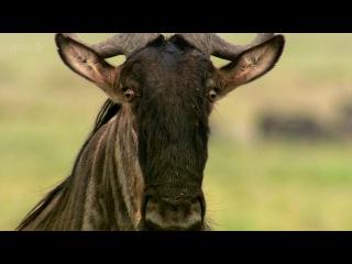BBC Дикая природа - шпион среди антилоп гну 2Ч. Документальный фильм (22.02.2017)