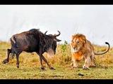 BBC Дикая природа - шпион среди антилоп гну 1Ч. Документальный фильм (22.02.2017)