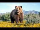 Долина Гризли Поле битвы Документальный фильм о медведях Гризли Нат Гео Вайлд