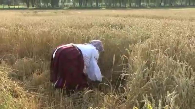 2014 07 17 зажинки в деревне Житомля rite zazhinki in the village Zhitomlya of G