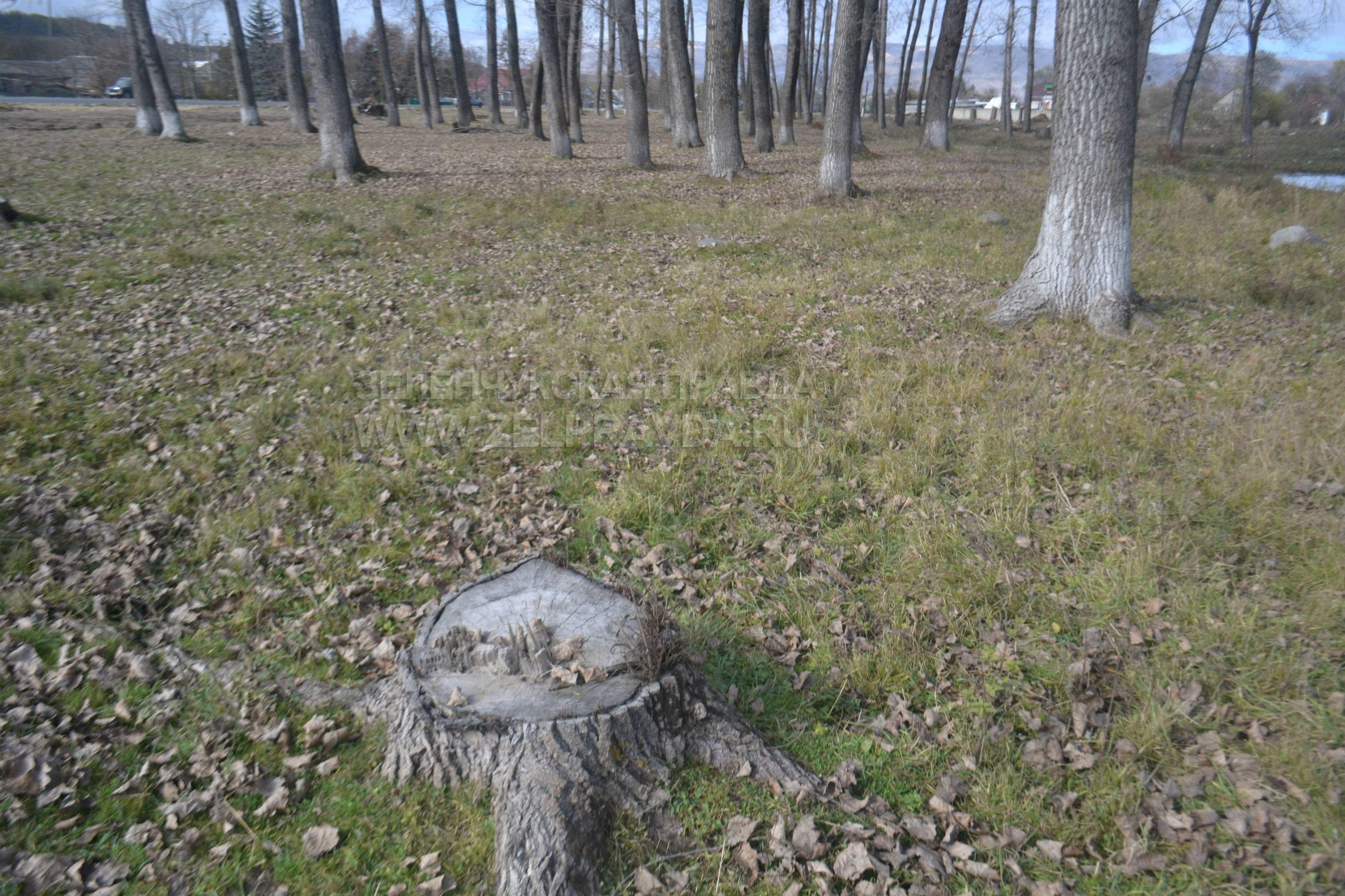 В Зеленчукской на улице Родниковской производится спил деревьев