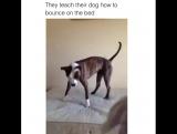 Они учат собаку прыгать на кровати