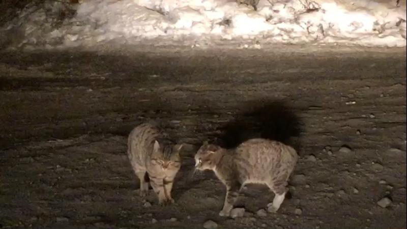 Шишковские мартовские коты