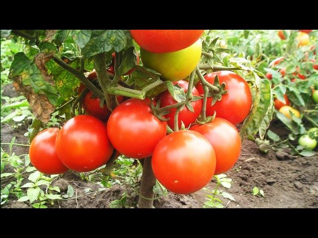 Уникальный способ полива и подкормки томатов. Сода, марганцовка, йод- всегда под ...