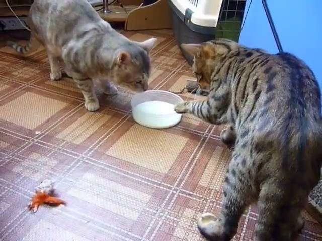 Two cats fighting (politely) over milk