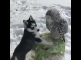 Husky Puppy Kissing His Owl Friend